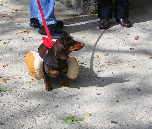Sausage Dog Le Baron